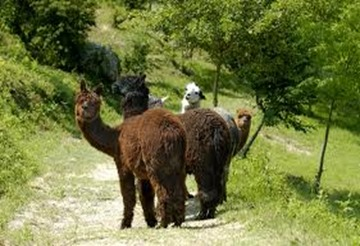 Amazing Pictures of Animals, photo, Nature exotic, funny, incredibel, Zoo, Vicugna pacos, Alpaca, Alex (10)