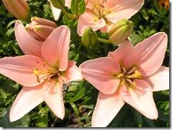 včely na květech 046