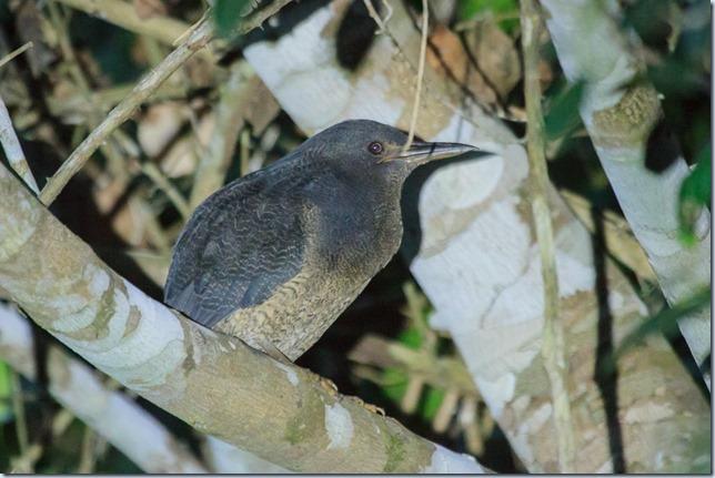 Pantanal_Herons-5