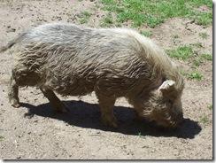 2012.06.02-011 cochon laineux