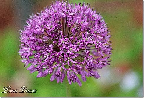 Allium_PersianBlue_May1