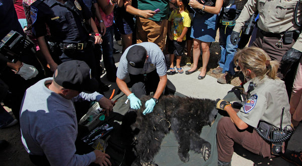 A sedated bear in Santa Fe, New Mexico, 3 September 2012. Animals are descending from mountains and mesas, desperate to eat whatever they can find before winter. Luis Sanchez Saturno / The Santa Fe New Mexican, via Associated Press