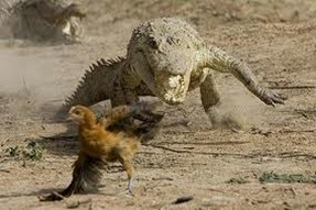 Amazing Pictures of Animals, Photo, Nature, Incredibel, Funny, Zoo, West African, crocodile desert crocodile, Crocodylus suchus, Alex (10)