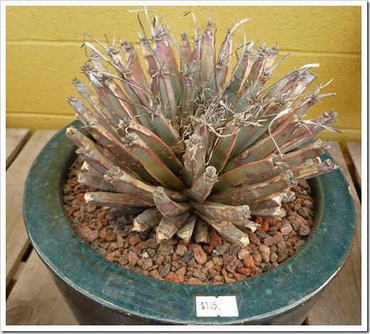 120208_CactusJungle_Leuchtenbergia-principis
