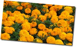 marigolds-mass-planting
