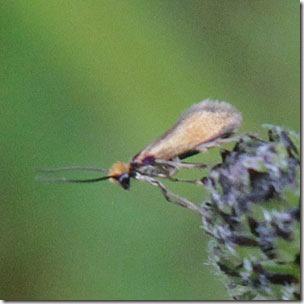 15 micropterix-calthella-2