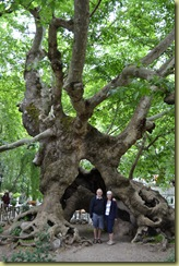 800 year old tree