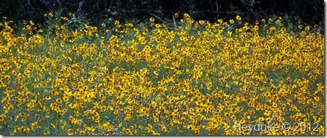 sea of yellow Coreopsis