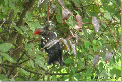 Pileated eating Red Osier Dogwood berries?
