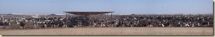 Casa Grande Cattle