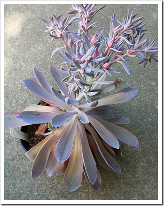 120821_Echeveria-Afterglow_08