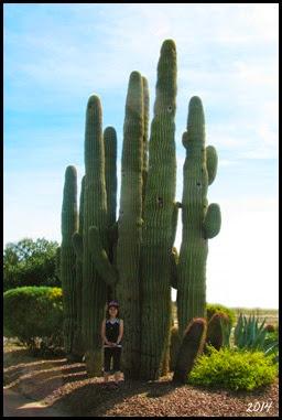 MHG Saguaro Cacti