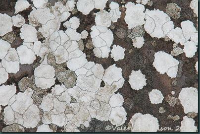 39-lichen-pattern