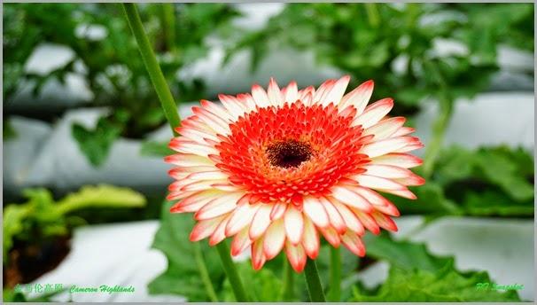红白非洲菊花