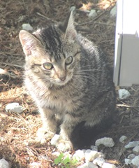 Florida stray feral striped kitty