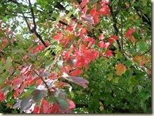 Maple splendor