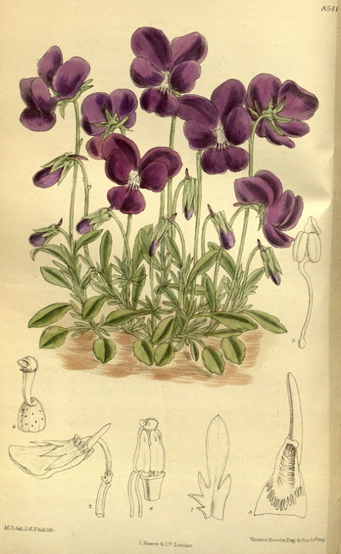Viola_gracilis_140-8541