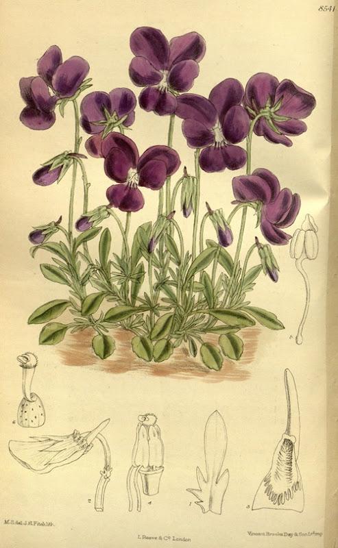 Viola_gracilis_140-8541