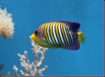 Amazing Pictures of Animals, photo Nature, exotic, funny, incredibel Zoo, Regal angelfish, Alex (12)