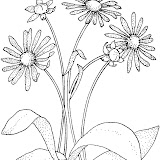 daisy-8-coloring-page.jpg
