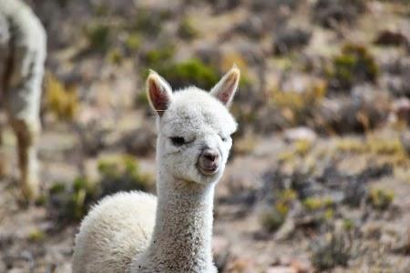 Imagini Peru: Pui de lama la Colca Canyon