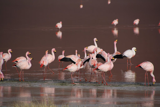 James's Flamingos