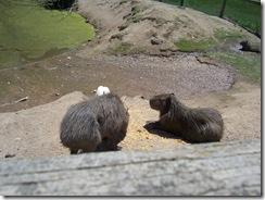 2012.06.02-018 capybaras