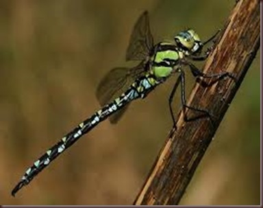 Amazing Pictures of Animals, photo Nature, exotic, funny ,incredibel Zoo, Dragonfly, Insecta, Alex (5)