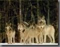 Wolf05T