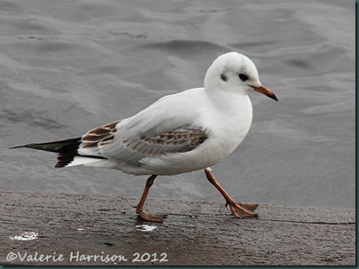 5-black-headed-gull-juv