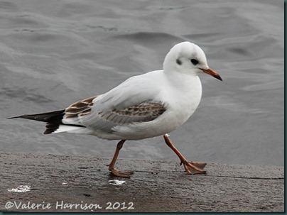 5-black-headed-gull-juv
