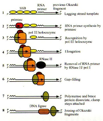 DNA Replication in E.coli