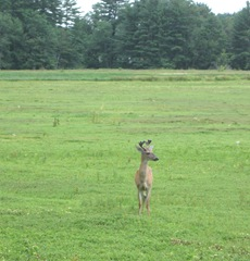 7.26.2012 deer on morse bros bog facing woods listening and watching1