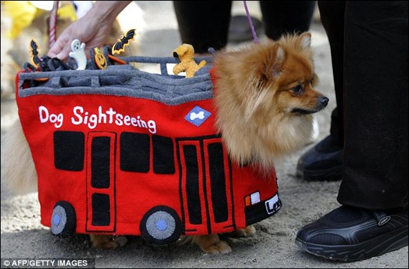 This pomeranian went as a sightseeing bus