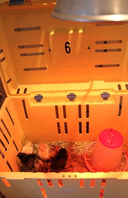 kyllingene 008_thumb[4]