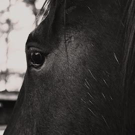 eye by Michelle du Plooy - Animals Horses ( face, equine, black and white, horse, close up, portrait )