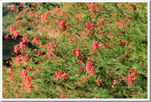 131124_UCD_Arboretum_AustralianCollection_Grevillea-thelemanniana_02