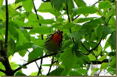 Blackburnian wabler
