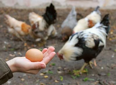 Ägg från hedemorahöns