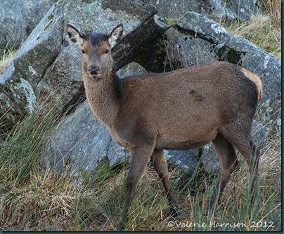 21-red-deer