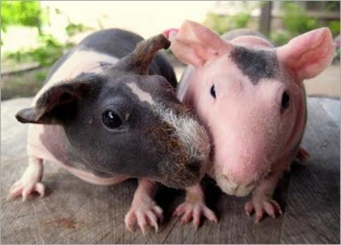 Skinny Pig 02