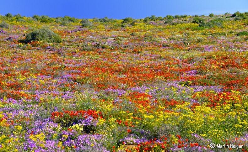 Namaqualand-flores-6