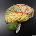brain_model.JPG