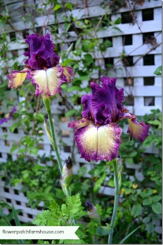 blackberry truffle iris 560