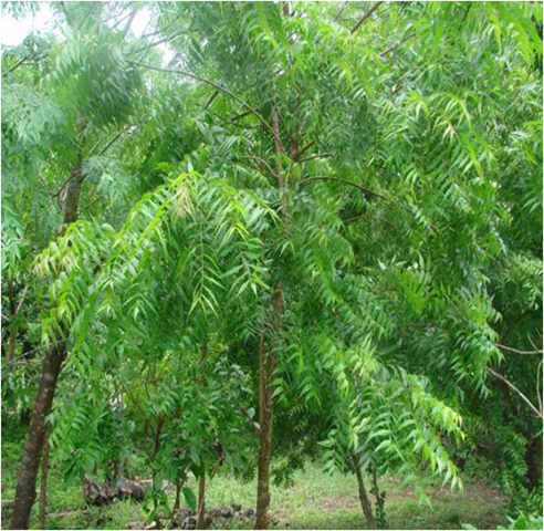 Azardiracta indica :Neem tree