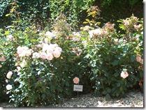 2013.07.17-011 rose sourire du Havre