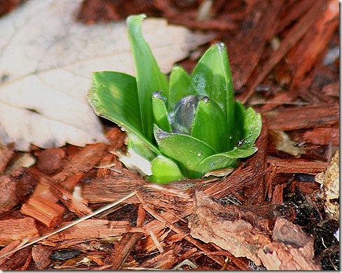 Hyacinths_December5