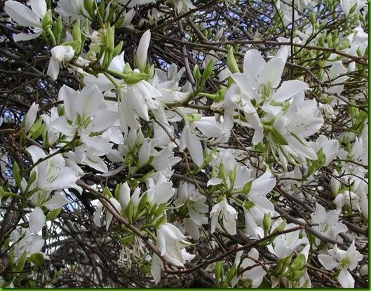 """Bauhinia variegata """"Candida"""""""