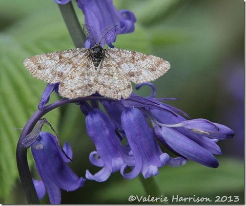 common-heath-moth
