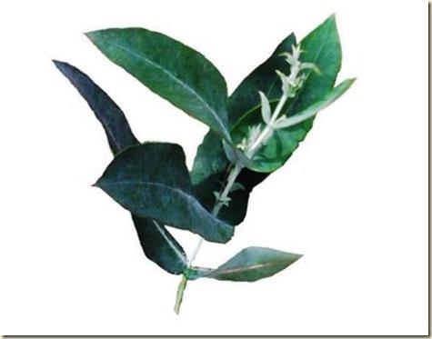eucalipto_www.plantamer.blogspot.com